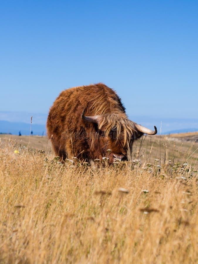 Mucca @ Taupo, Nuova Zelanda dell'altopiano fotografia stock libera da diritti