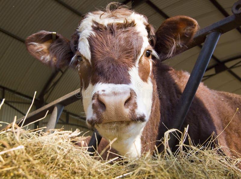 Mucca in tettoia immagine stock libera da diritti