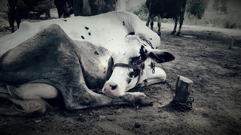 mucca triste di Lil immagine stock libera da diritti