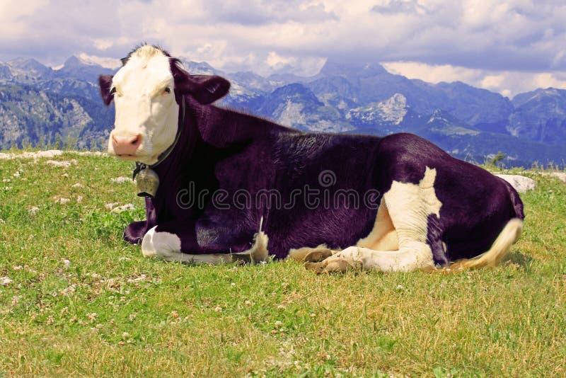Mucca viola fotografia stock