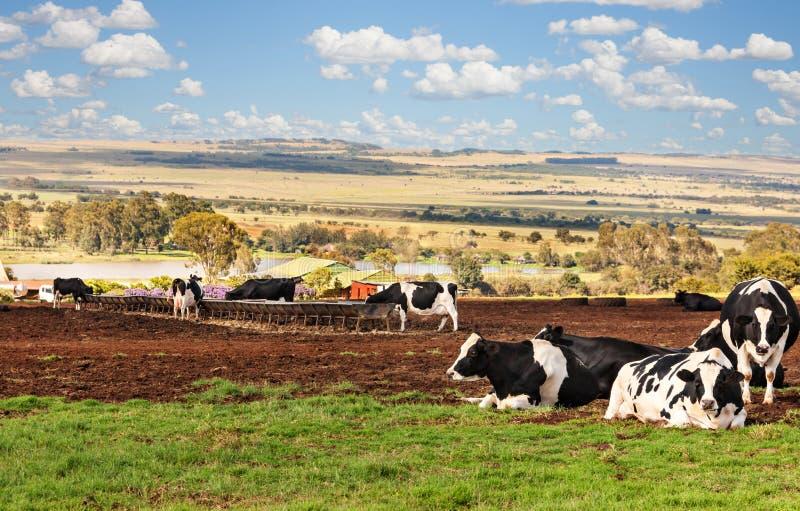 Mucche africane dell'azienda agricola che riposano sul prato del Th immagine stock libera da diritti