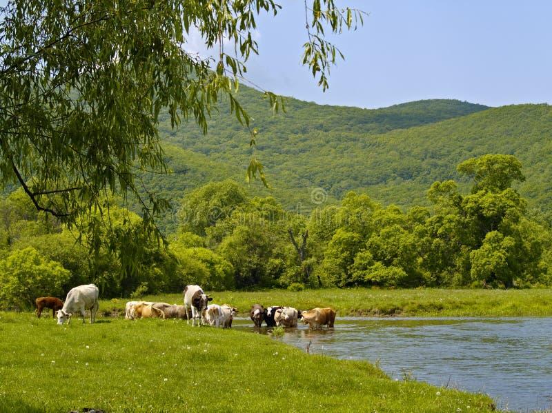 Mucche al fiume fotografia stock