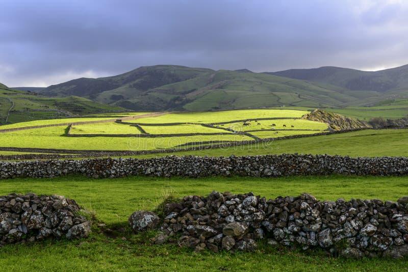 Mucche al pascolo, isola del Flores, arcipelago di Azorres (Portogallo) fotografie stock libere da diritti