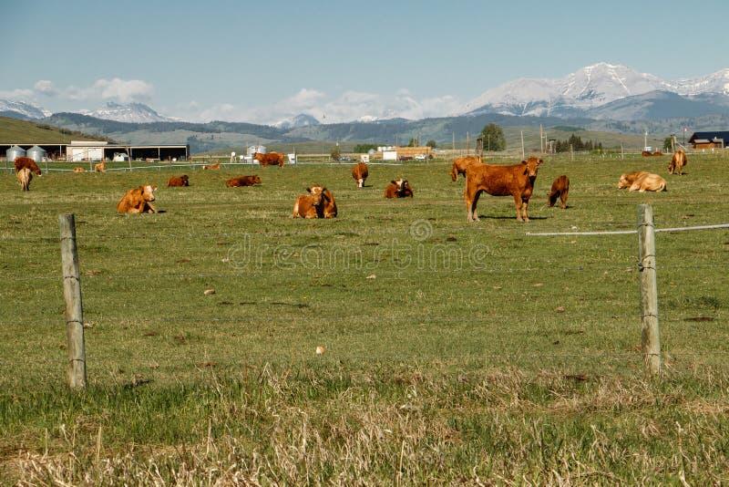 Mucche allevate ad erba in Alberta del sud, Canada immagini stock libere da diritti