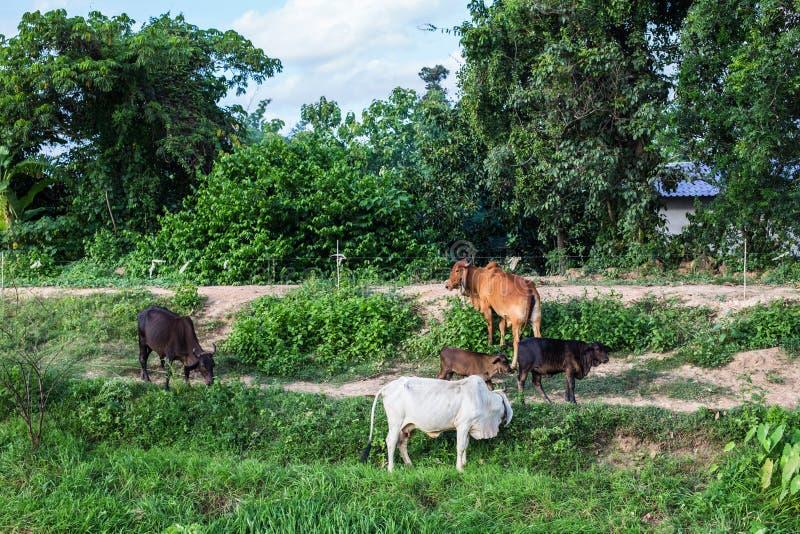 Mucche asiatiche in un campo ad un'azienda agricola in Nakhon Ratchasima, Tailandia immagine stock libera da diritti