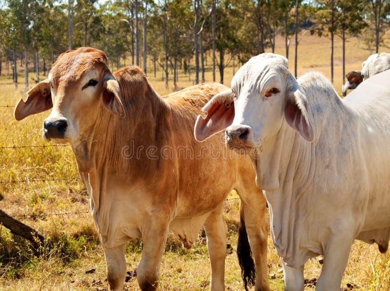 Mucche australiane del Brahman di industria del manzo fotografie stock libere da diritti