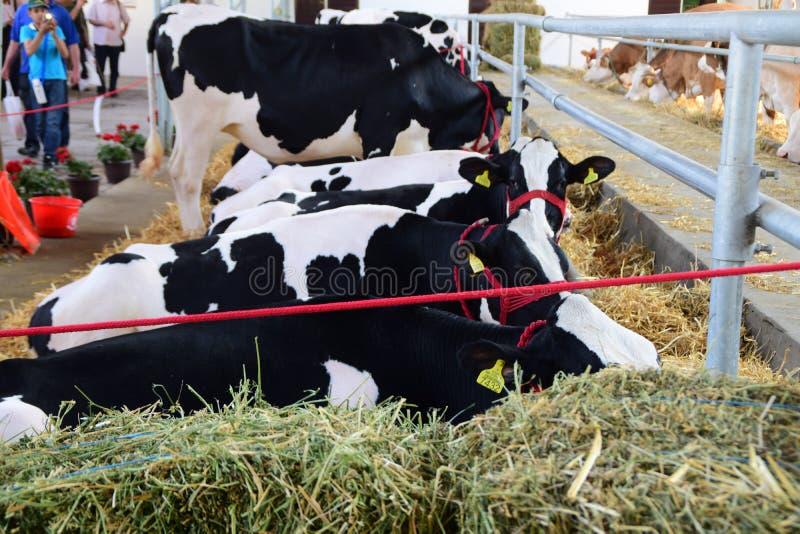 Mucche in bianco e nero e le mucche marroni e bianche che pascono e che riposano in un granaio fotografia stock