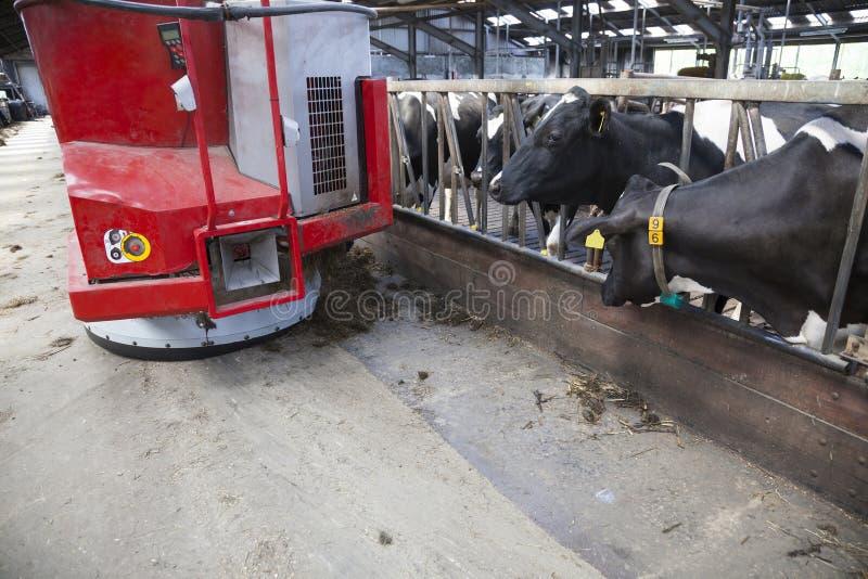 Mucche in bianco e nero nell'aspettare stabile alimento dal robot d'alimentazione fotografie stock