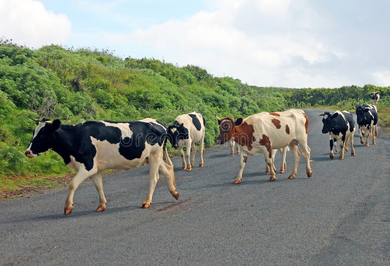 Mucche che attraversano la strada fotografia stock