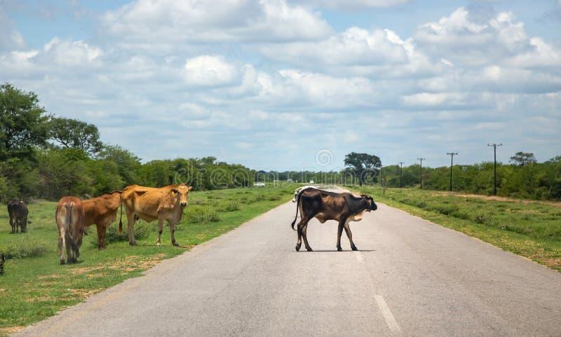 Mucche che attraversano la strada nel Botswana fotografia stock