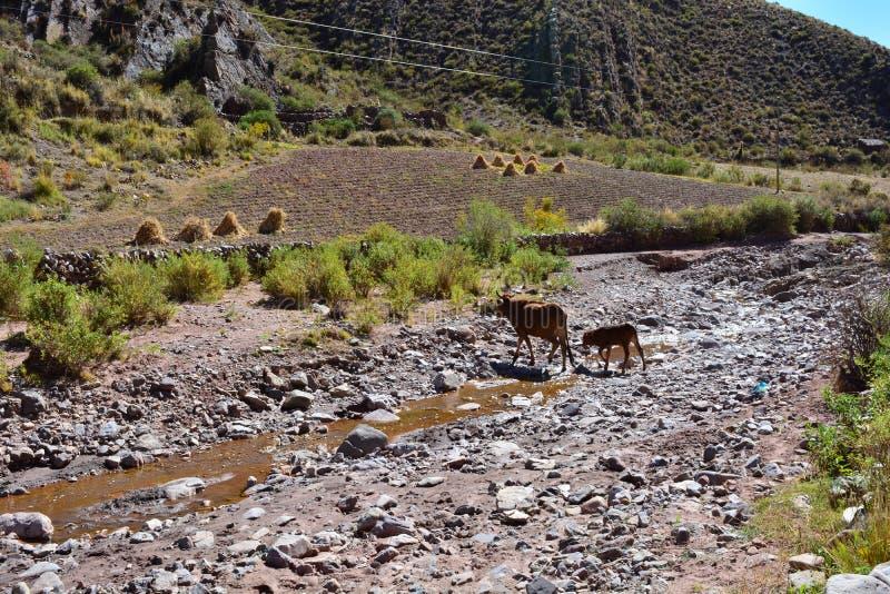 Mucche che attraversano un fiume in Bolivia fotografia stock libera da diritti