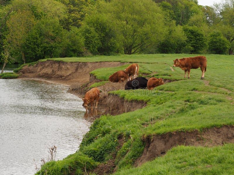 Mucche che bevono dal molo del fiume vicino a Tadcaster, Yorkshire fotografia stock libera da diritti