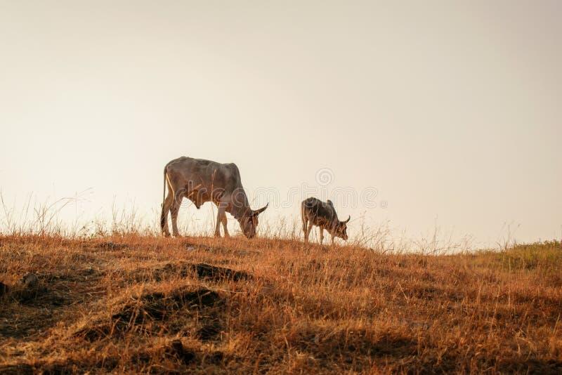 Mucche che mangiano erba sul campo aperto fotografie stock