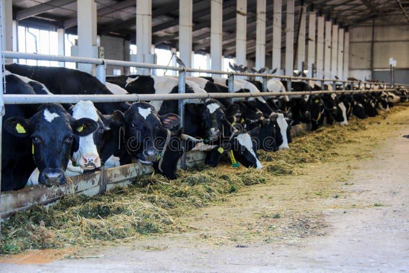 Mucche che che mangiano fieno in stalla sull'azienda lattiera fotografia stock libera da diritti