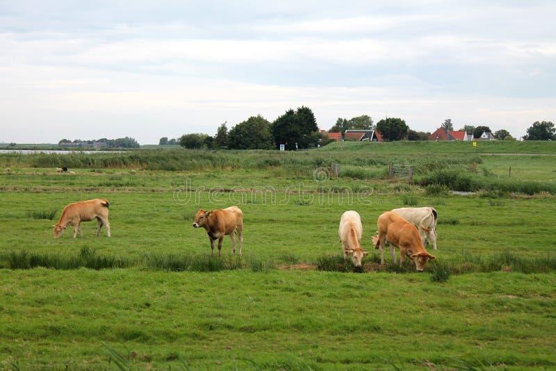 Mucche che pascono immagine stock libera da diritti