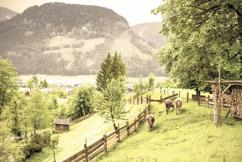 Mucche che pascono in Austria rurale fotografie stock libere da diritti