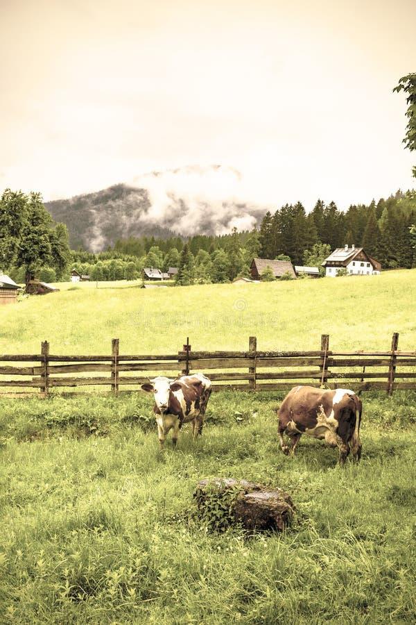 Mucche che pascono in Austria rurale immagini stock