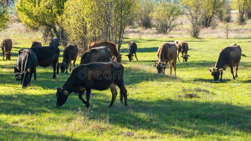 Mucche che pascono su un pascolo verde fresco immagini stock libere da diritti
