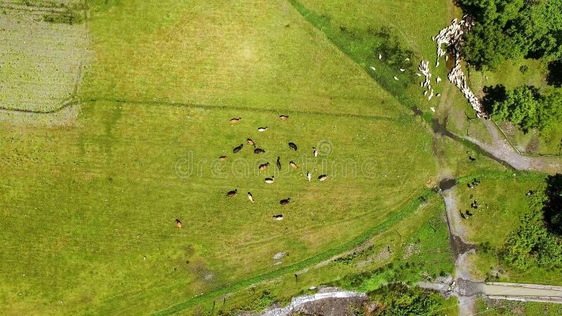 Mucche che pascono sul campo, mangiando erba verde fresca, agricoltura e bestiame-allevamento fotografie stock libere da diritti