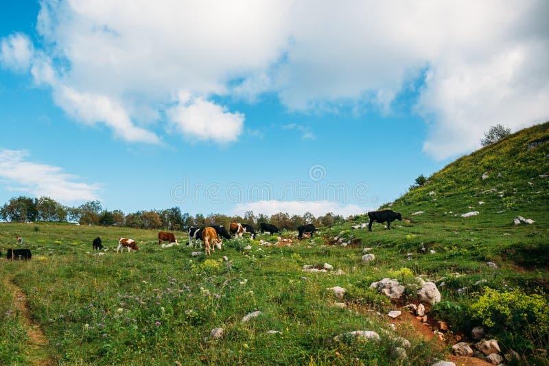 Mucche che pascono sul prato verde in montagne Bestiame su un pascolo della montagna Mucca in pascolo immagini stock libere da diritti