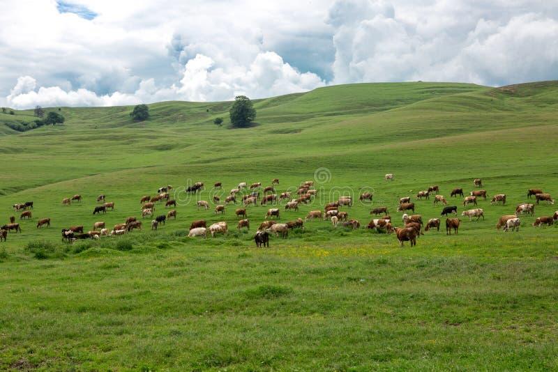 Mucche che pascono in un campo verde fresco immagini stock libere da diritti