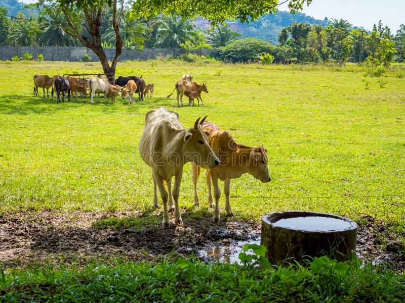 Mucche che pascono in un campo verde fresco in ombra dell'albero immagini stock