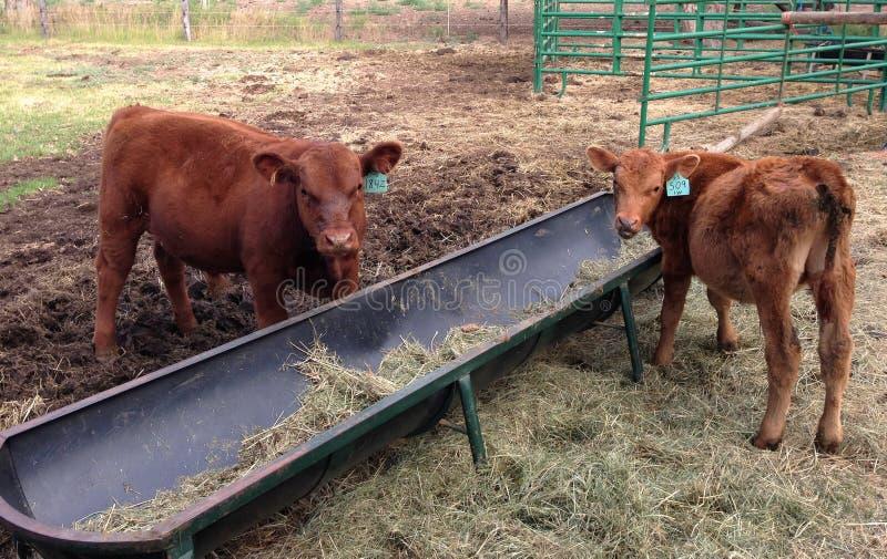 Mucche che si alimentano nella penna immagine stock libera da diritti