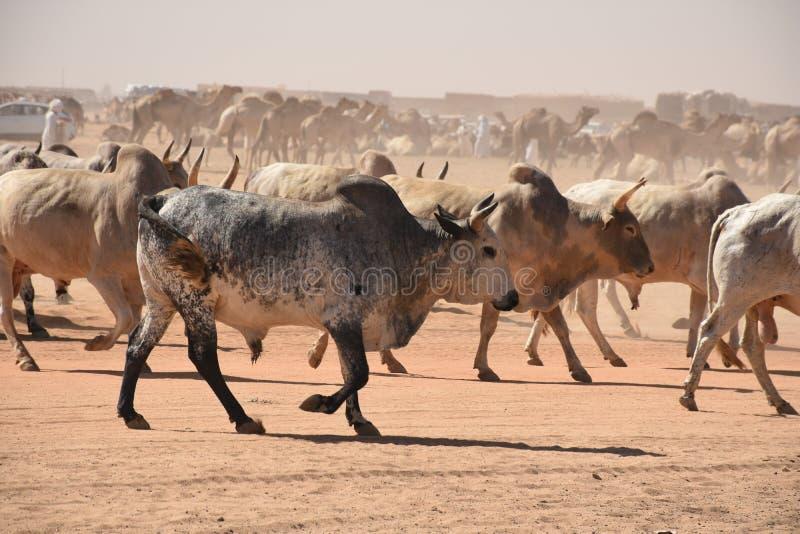 Mucche che si dirigono per commercializzare in Khartum fotografia stock libera da diritti
