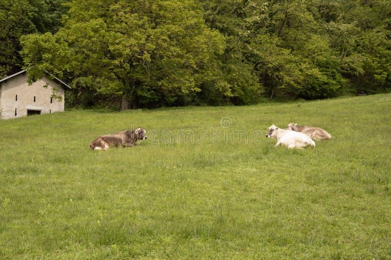 Mucche che si trovano su un prato nelle montagne fotografia stock libera da diritti