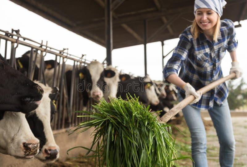 Mucche d'alimentazione del tecnico femminile con erba nel granaio del bestiame fotografia stock libera da diritti