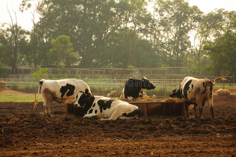 Mucche da latte fotografie stock