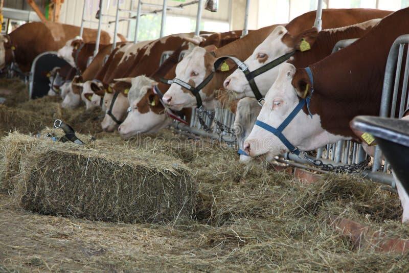 Mucche da latte nel granaio immagine stock