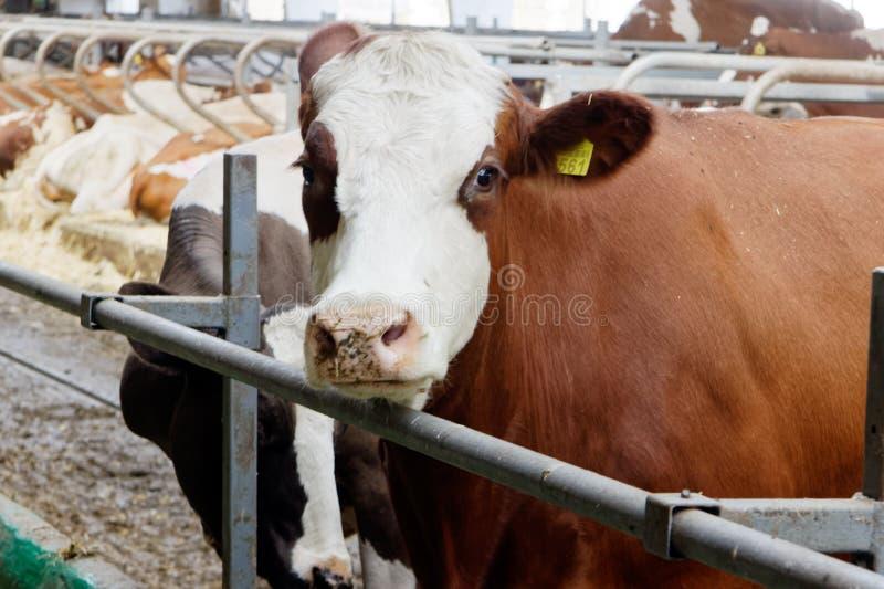 Mucche da latte in una stalla dell'azienda agricola immagine stock libera da diritti