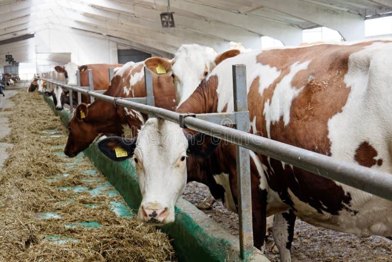 Mucche da latte in una stalla dell'azienda agricola fotografie stock libere da diritti