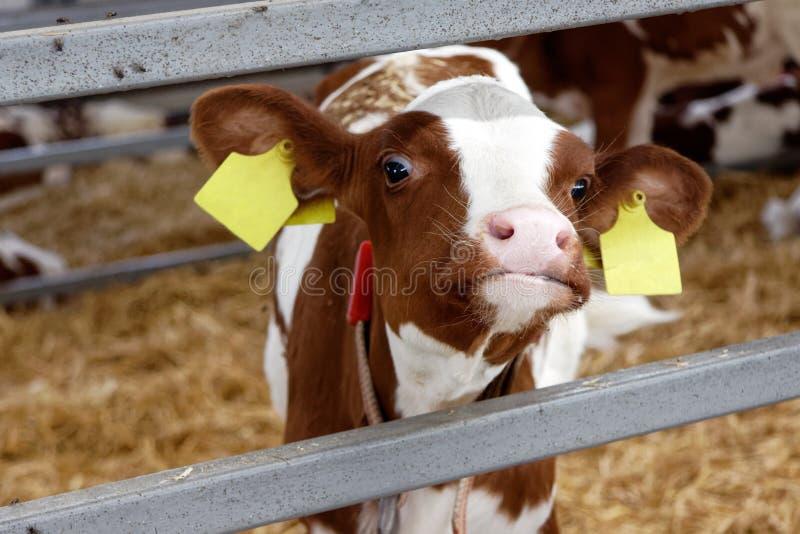 Mucche da latte in una stalla dell'azienda agricola fotografia stock libera da diritti