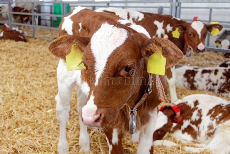 Mucche da latte in una stalla dell'azienda agricola immagine stock