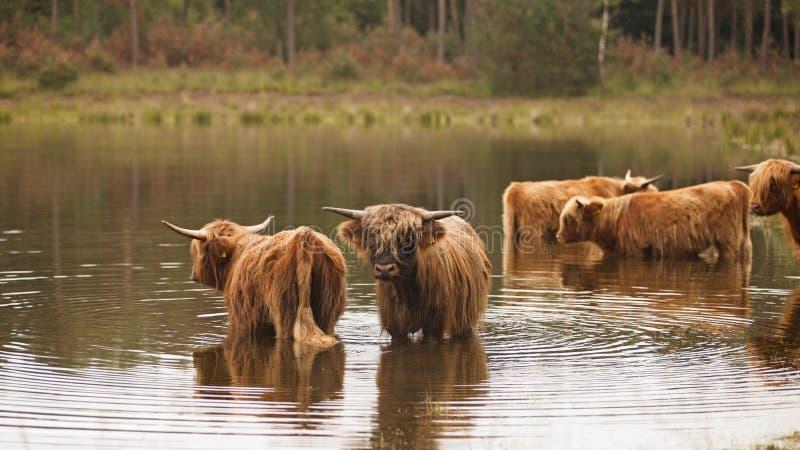 Mucche dell'abitante degli altipiani scozzesi che stanno in uno stagno fotografia stock