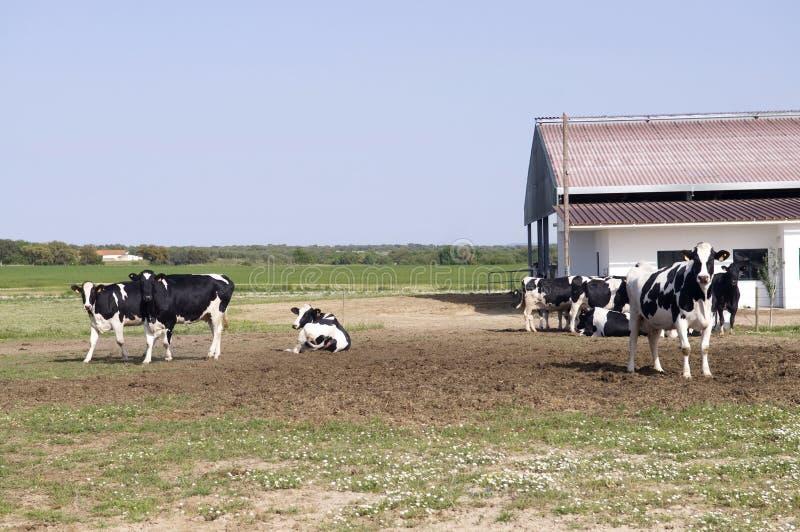 Mucche dell'azienda agricola fotografia stock libera da diritti