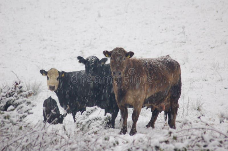 Mucche della neve fotografia stock libera da diritti
