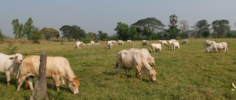 Mucche di bianco di Fram immagine stock