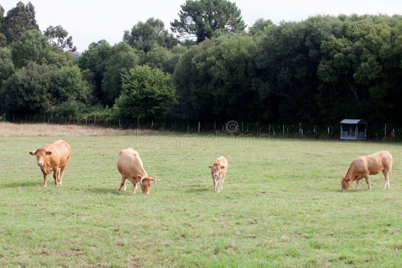 Mucche di Brown che pascono fotografia stock libera da diritti
