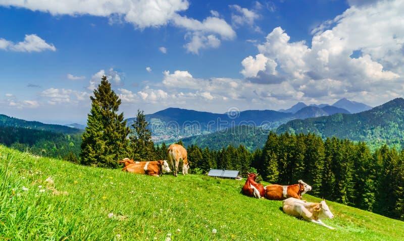 Mucche di Brown nelle alpi della Baviera - Germania fotografia stock