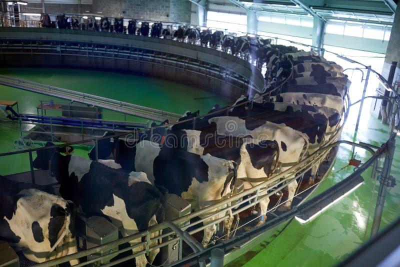 Mucche di mungitura al sistema rotatorio del salone dell'azienda lattiera immagine stock