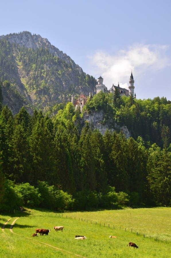 Mucche e castello del Neuschwanstein immagini stock libere da diritti
