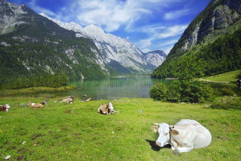 Mucche e Koenigssee immagini stock libere da diritti