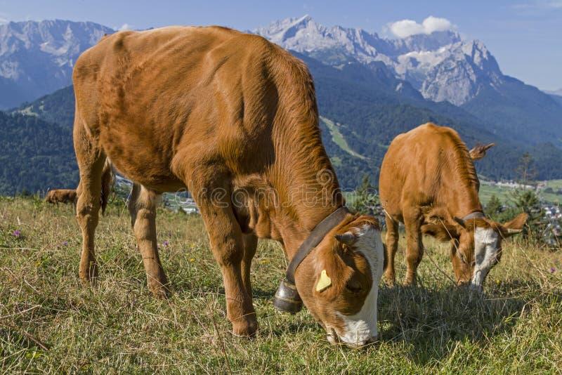 Mucche e montagna Zugspitze immagini stock