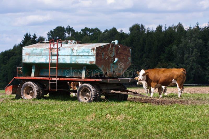 Mucche e serbatoio di acqua immagine stock libera da diritti