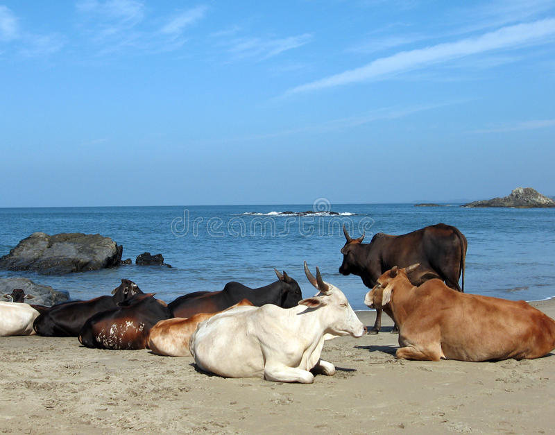 Mucche in Goa immagini stock libere da diritti