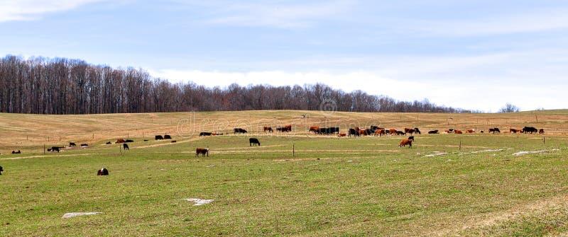 Mucche Graze Across The Landscaped Pasture immagini stock libere da diritti
