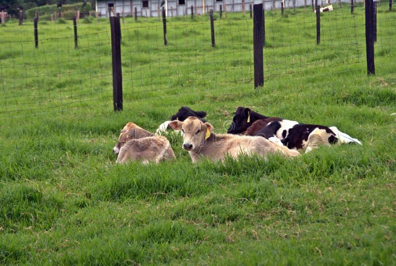 Mucche I fotografie stock